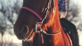 Cavalo bonito que levanta para a c?mera, um cavalo com um cavaleiro no inverno no por do sol, close-up Movimento lento Tiro sobre filme