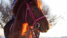 Cavalo bonito que levanta para a c?mera, um cavalo com um cavaleiro no inverno no por do sol, close-up Movimento lento Tiro sobre vídeos de arquivo