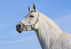 Cavalo branco Fotos de Stock Royalty Free