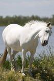 Cavalo branco Imagem de Stock Royalty Free