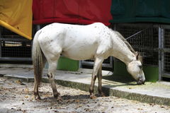 Cavalo branco fotografia de stock