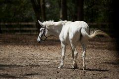Cavalo branco  foto de stock royalty free