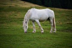 Cavalo branco Imagem de Stock