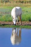 Cavalo branco Imagens de Stock
