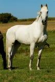 Cavalo branco foto de stock