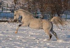 Cavalo branco Fotos de Stock