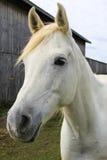 Cavalo branco ao lado do celeiro Fotos de Stock Royalty Free