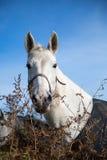 Cavalo branco bonito Imagens de Stock
