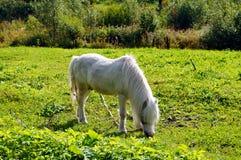 Cavalo branco bonito Foto de Stock Royalty Free