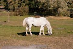 Cavalo branco bonito Fotos de Stock Royalty Free