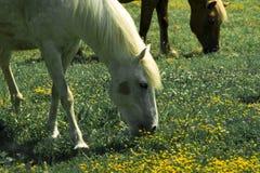 Cavalo branco bonito fotografia de stock royalty free