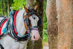 Cavalo branco bonito com caça com armadilhas imagem de stock