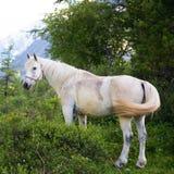 Cavalo branco bonito na floresta fotografia de stock royalty free