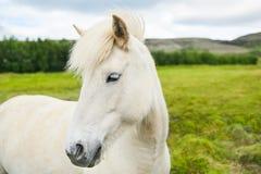 Cavalo branco bonito no campo verde em Islândia Foto de Stock