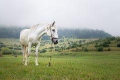 Cavalo branco bonito no prado em um dia nevoento Imagens de Stock
