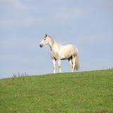 Cavalo branco bonito que está no horizonte Imagens de Stock Royalty Free