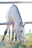 Cavalo branco bonito que pasta na grama Fotos de Stock