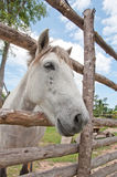 Cavalo branco com céu azul Imagem de Stock