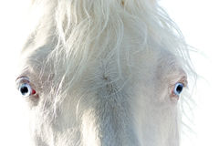 Cavalo branco com olhos azuis Imagem de Stock Royalty Free