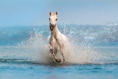 Cavalo branco corrido na água azul Fotos de Stock Royalty Free