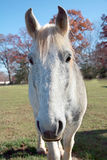 Cavalo branco curioso Fotos de Stock Royalty Free