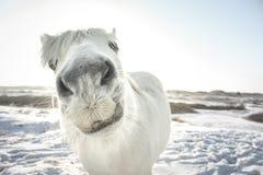 Cavalo branco curioso que levanta na câmera imagem de stock