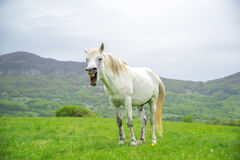 Cavalo branco de bocejo em um fundo da natureza Imagem de Stock Royalty Free