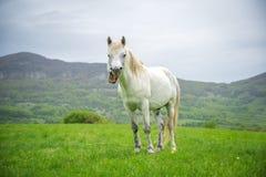 Cavalo branco de bocejo em um fundo da natureza Foto de Stock Royalty Free