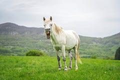 Cavalo branco de bocejo em um fundo da natureza Fotos de Stock Royalty Free