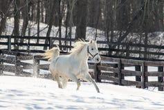 Cavalo branco de galope Imagens de Stock