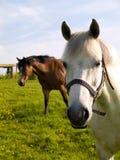 Cavalo branco de prata com rédeas e cavalo de Brown foto de stock