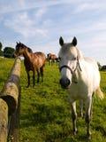 Cavalo branco de prata com rédeas e cavalo de Brown fotografia de stock
