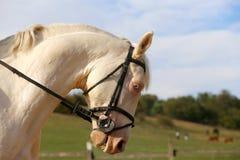Cavalo branco de Thoroughbredl com olhos azuis originais Fotografia de Stock Royalty Free