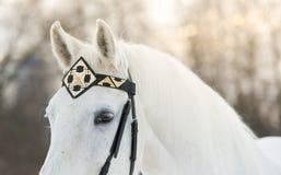 Cavalo branco do trotador no fim horizontal exterior da freio-correia dianteira medieval acima do retrato no inverno no por do so Imagem de Stock