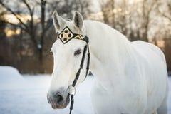 Cavalo branco do trotador no retrato horizontal exterior da freio-correia dianteira medieval no inverno no por do sol Imagem de Stock