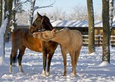Cavalo branco e marrom que joga no paddok Imagens de Stock