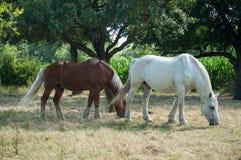 Cavalo branco e marrom que pasta em um prado Imagens de Stock