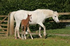 Cavalo branco e potro Imagens de Stock Royalty Free