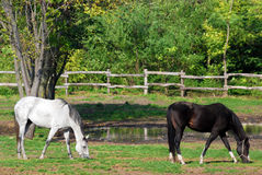 Cavalo branco e preto Imagens de Stock Royalty Free