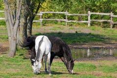 Cavalo branco e preto Fotos de Stock Royalty Free