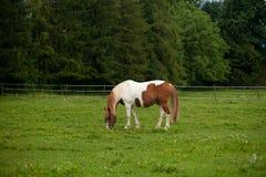 Cavalo branco e preto Foto de Stock