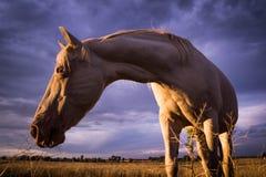 Cavalo branco em um campo Fotos de Stock Royalty Free