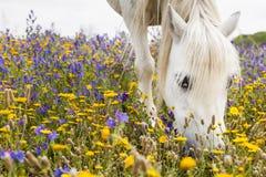 Cavalo branco em um campo Fotos de Stock