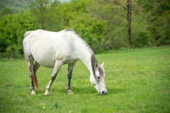 Cavalo branco em um pasto Fotografia de Stock Royalty Free