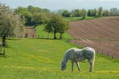 Cavalo branco em um prado Imagens de Stock