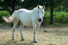 Cavalo branco em um prado Foto de Stock Royalty Free