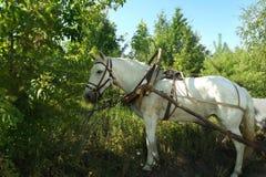 Cavalo branco em uma equipe na natureza imagens de stock royalty free