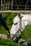 Cavalo branco em uma pena Fotografia de Stock Royalty Free