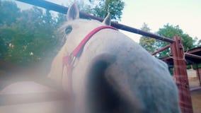 Cavalo branco engraçado que aspira muito perto à objetiva na cerca vídeos de arquivo