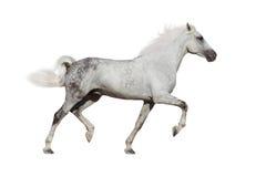 Cavalo branco isolado Imagens de Stock